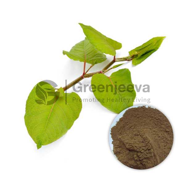 Giant Knotweed Extract Powder 50% Resveratrol