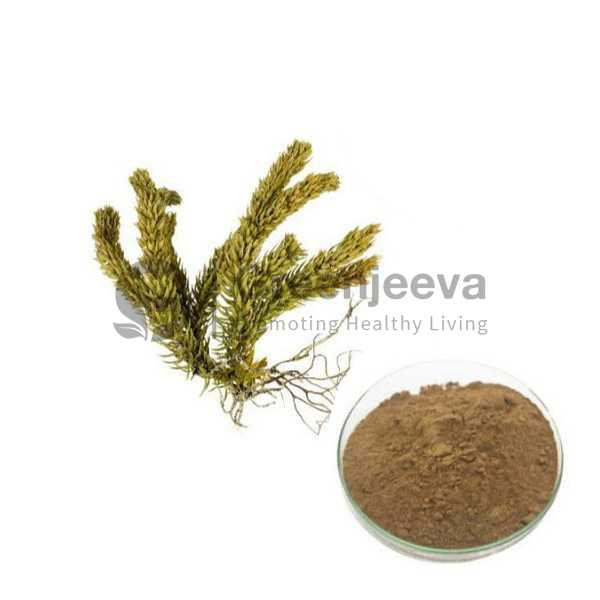 Huperzia Serrata Extract Powder 1% Huperzine-A, HPLC