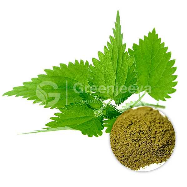 Nettle Leaf Extract Powder 10:1