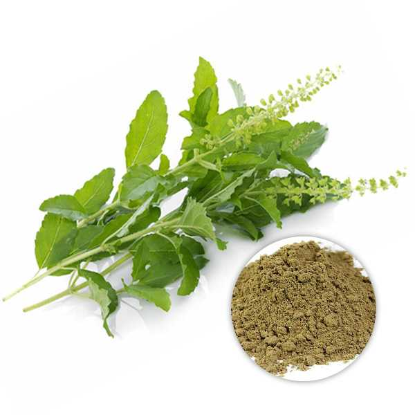 Organic Holy basil extract powder 10:1