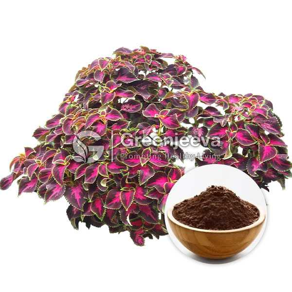 Coleus Forksholin Extract Powder 10% Forskohlin HPLC
