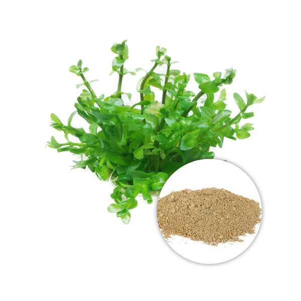 Bacopa monnieri extract powder 20% bacosides HPLC ,5 peaks