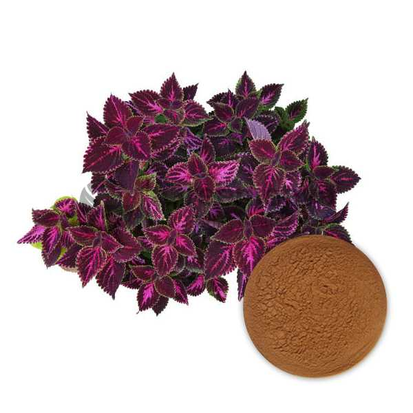 Coleus Forskohlii Extract Powder 20%  Forskolin, HPLC